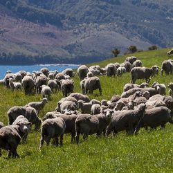 Sheep mustering Discover Dingleburn High Country Station Wanaka NZ 250x250 - Gallery